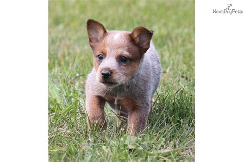 blue heeler puppies michigan australian cattle blue heeler puppy for sale near grand rapids michigan