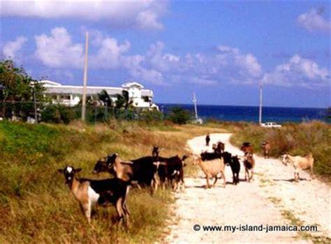 jamaican goats on the north coast