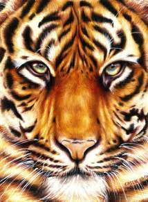 tiger color tiger different color pencil and in color