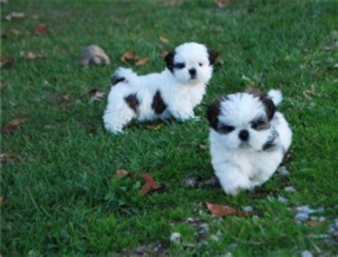 shih tzu puppies for sale el paso tx pets el paso tx free classified ads