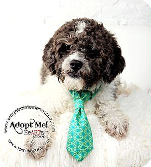 shih tzu puppies omaha prince pending adoption adopted omaha ne shih tzu poodle miniature mix