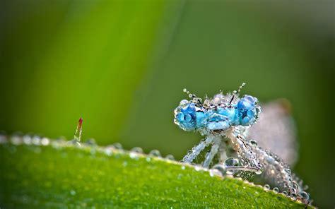 Macro Me - terralonginqua mon copain l agrion insect macro