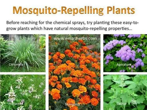 plants that keep away mosquitoes mosquito repelling plants gardening pinterest