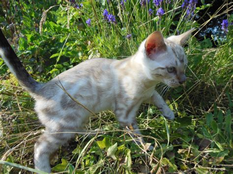 blue eyed snow bengal kitten 3 months old youtube blue eyed snow bengal kitten hereford herefordshire