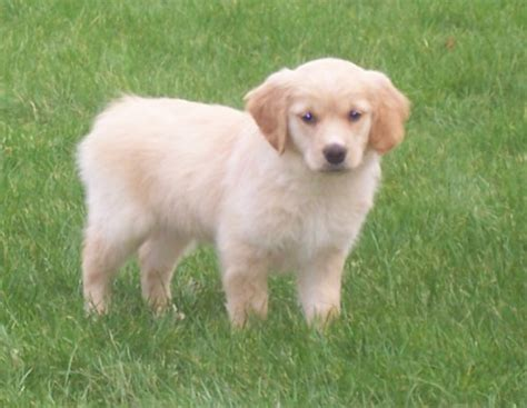 brown golden retriever puppies golden retriever photos pictures golden retrievers page 5