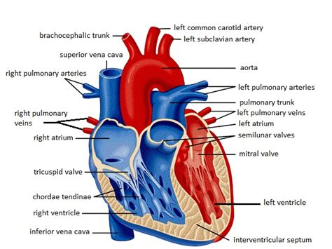 the heart manual my 0061765910 parts of the heart diagram parts free engine image for user manual download