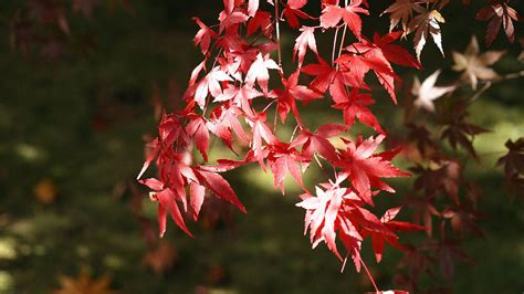 red japanese maple november  bing wallpaper preview