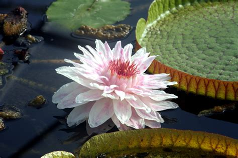 botanischer garten berlin seerosen riesenseerosen seerosen nymphaion seerosen lotos