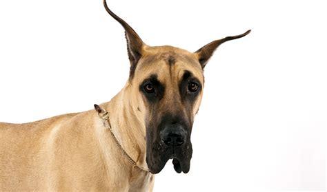 great dane dogs great dane dog breed info pictures petmd great dane dog breed information