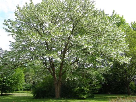 tree l davidia involucrata ghost tree dove tree leafland