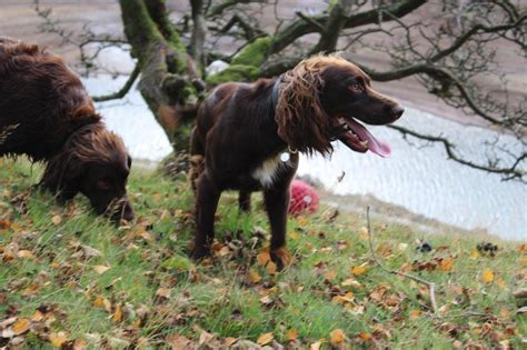 field spaniel puppies for sale working cocker x field spaniel puppies rhayader powys pets4homes