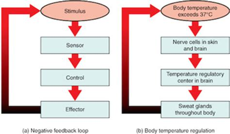 what is negative feedback in biology? definition