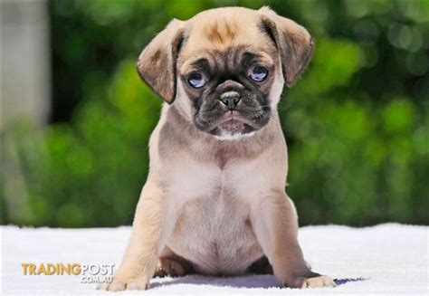 pug puppies for sale trading post puggle pug x beagle puppies for sale in hoppers crossing vic puggle pug x beagle