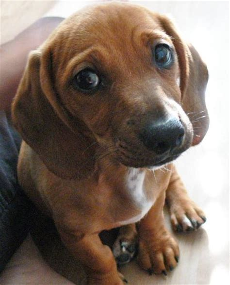 beagle dachshund mix puppies for sale picture of a dachshund beagle dachshund mix puppies