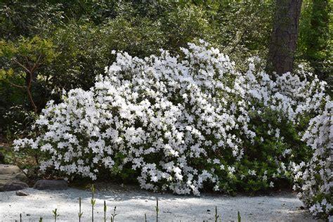 White Azalea delaware valley white azalea rhododendron delaware