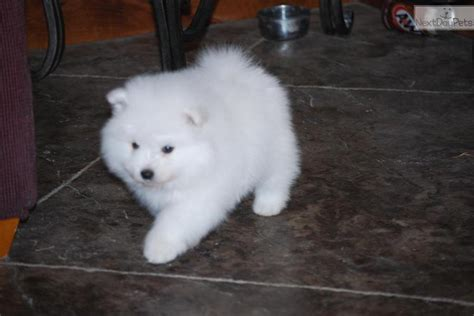 american eskimo puppy price american eskimo puppy for sale near provo orem utah 990c30fa 8051