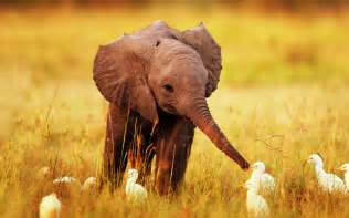 Baby elephant with bird hd wide desktop wallpaper daily pics update