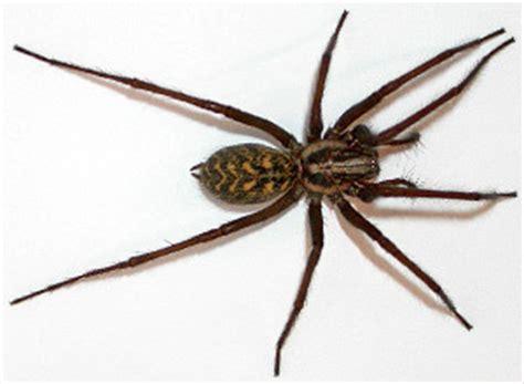 domestic house spider lepidoptera no tegenaria domestica domestic house spider