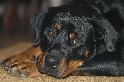 vicious rottweiler rottweilers vicious killers flickr photo