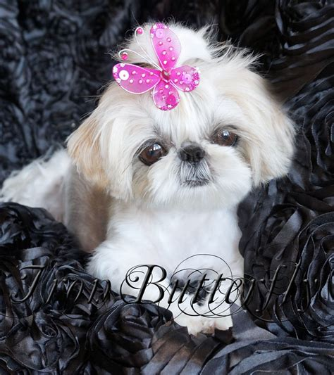 small shih tzu pin tiny imperial shih tzu on