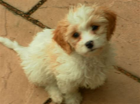 puppies now cavachon puppies for sale ready now leeds west pets4homes