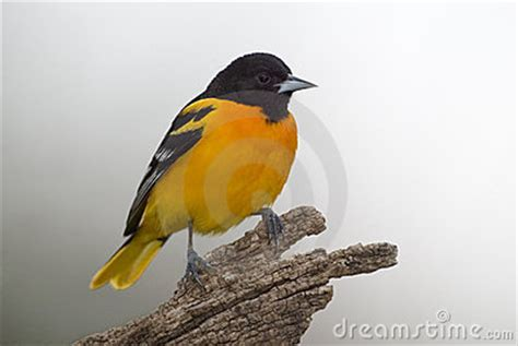 baltimore northern oriole icterus galbula royalty free