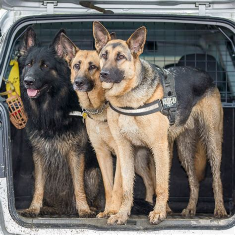 how do german shepherds live history and origins of the german shepherd
