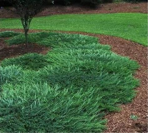 blue rug juniper growth rate blue rug juniper ground cover picture of bar harbor juniper ground cover