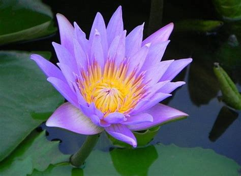 lotus flower seeds 25 best ideas about lotus flower seeds on