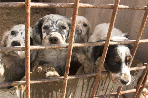 puppy mills can you open your and home to a puppy mill survivor the animal rescue site