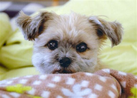 shih tzu pomeranian chihuahua mix shih tzu pomeranian pictures to pin on tattooskid
