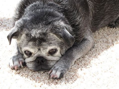 oldest pug pug photography