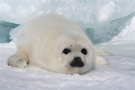 white seal pup marine mammals and penguins marine science today