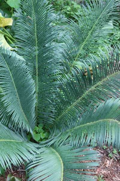 cycas panzhihuaensis dino dig plants rock garden