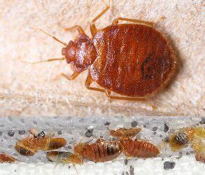 Bed Bugs In Ohio by Bed Bugs In Ohio 28 Images Columbus Ohio Residents Can T Forget About Other Insects Bed Bug