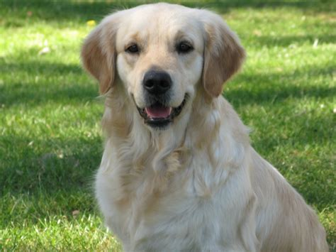 purebred golden retriever puppies nsw bluebreeze