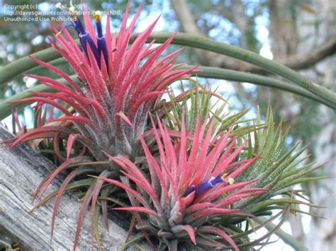 different forms of tillandsia plantfiles pictures tillandsia bromeliad air plant blushing sky plant tillandsia