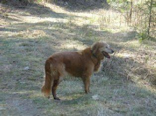 inland empire golden retriever rescue inland empire golden retriever rescue adoption success stories