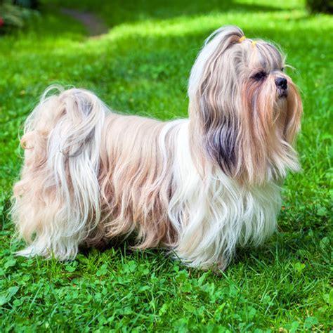 shih tzu bites when grooming breed non sporting dogs shih tzu