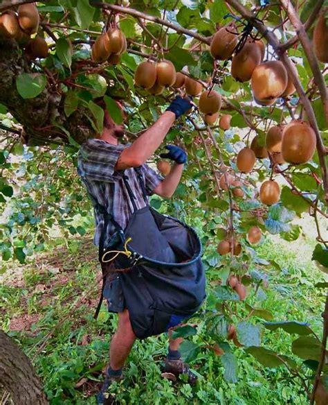 kiwi kiwi a flashpacking journey around new zealand books let s talk about kiwifruit picking picktheworld