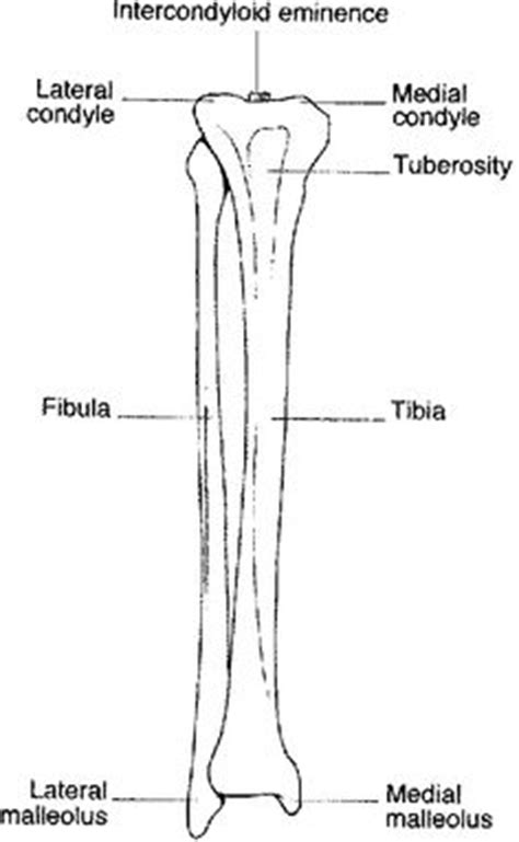 1000+ images about bones in the leg on pinterest | bone