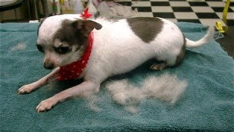 How To Stop Chihuahua From Shedding by Excessive Shedding Page 2 Chihuahua Forum Chihuahua