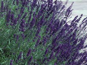 hidcote lavender flower of the day hgtv