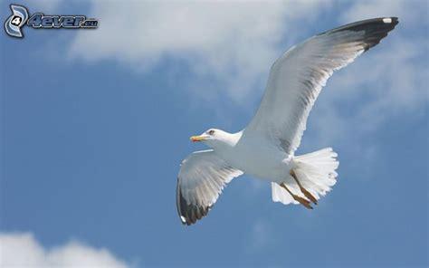 gabbiano uccello gabbiano