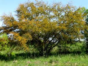 tree pictures two men and a little farm huisache tree followup