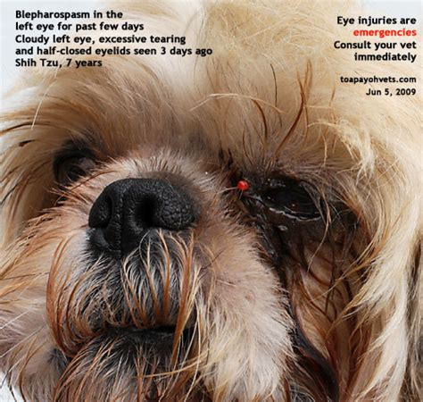 shih tzu eye infection 031208asingapore toa payoh veterinary vets cat rabbits hamster veterinarian