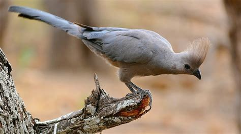 grey go away bird wikipedia