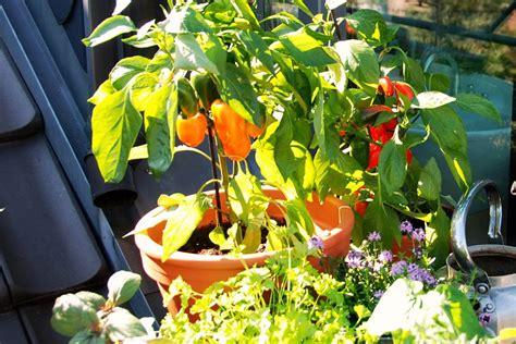 Garten Paprika Pflanzen by Tomaten Und Paprika Auf Dem Balkon Gartentechnik De