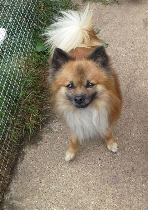 chihuahua x pomeranian pomeranian x chihuahua seller breeds picture
