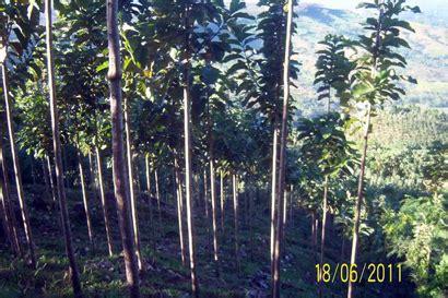 Waralaba Teh 2 Daun pohon tumbuh sehat goldteak